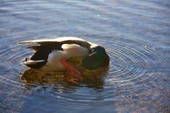 Kaczka w wodzie Obrazy Royalty Free