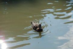 Kaczka w zielonym wodnym stawie fotografia royalty free
