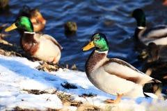 Kaczka w zimie nad wodą Fotografia Royalty Free