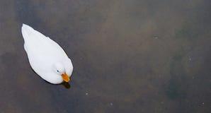 kaczka white Zdjęcie Royalty Free