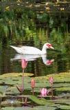 kaczka white Obrazy Royalty Free