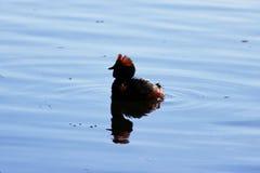 kaczka z czerwienią przewodzi na jego głowa Uzbrajać w rogi Slavonian perkoza Podiceps auritus Gatchina Biel jezioro obraz royalty free