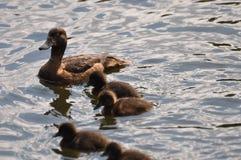 Kaczka z kaczątka pływaniem Zdjęcie Royalty Free