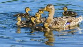 Kaczka z kaczątkami na błękitne wody Obrazy Royalty Free