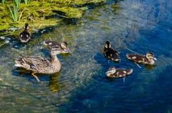 Kaczka z kaczątkami pływa w stawie zdjęcie stock