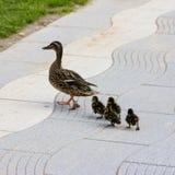 Kaczka z kaczątkami spacer w miasta ptasim zbawczym śródmieściu Zdjęcia Royalty Free