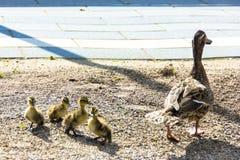 Kaczka z kaczątkami spacer w miasta ptasim zbawczym śródmieściu Zdjęcie Stock