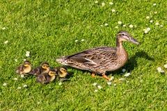 Kaczka z kaczątkami spacer w miasta ptasim zbawczym śródmieściu Fotografia Royalty Free