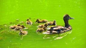Kaczka z kaczątkami Obraz Royalty Free