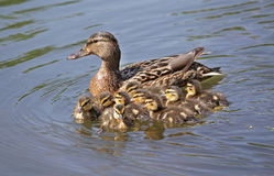 Kaczka z kaczątkami w wodzie Fotografia Royalty Free