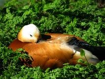 kaczka złota Zdjęcie Royalty Free