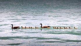 kaczki śliczna rodzina zdjęcie royalty free