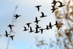 kaczki Obrazy Stock