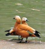 kaczki Zdjęcie Stock