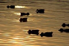 kaczki zdjęcie royalty free