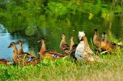 kaczki Obraz Royalty Free
