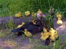 kaczki Obrazy Royalty Free