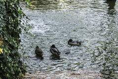 Kaczki blisko do siklawy jezioro Obraz Stock