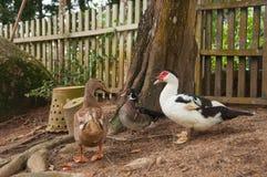 Kaczki, blisko drewnianego ogrodzenia Zdjęcie Royalty Free
