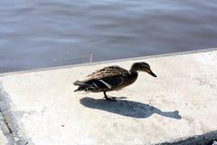 Kaczki blisko wody Fotografia Royalty Free