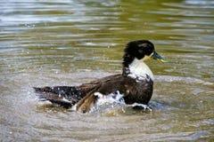 kaczki dopłynięcia woda Obrazy Stock