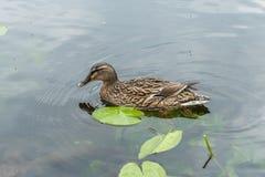 Kaczki dopłynięcie na jeziorze Fotografia Stock