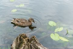 Kaczki dopłynięcie na jeziorze Obraz Royalty Free