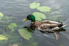 Kaczki dopłynięcie na jeziorze Fotografia Royalty Free
