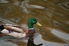 Kaczki dopłynięcie na jeziorze zdjęcia royalty free