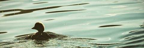 Kaczki dopłynięcie w jeziorze Obraz Stock