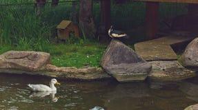 Kaczki dopłynięcie w ogródzie Zdjęcia Royalty Free