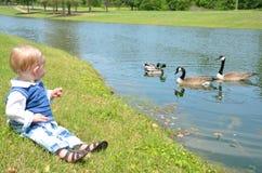 kaczki dopatrywanie Zdjęcie Stock
