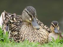 kaczki dziecko mamo Zdjęcie Stock