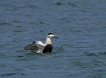 kaczki edredonu łopotania samiec skrzydła Obraz Royalty Free