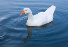 kaczki, gęsi obiadowe pływa Zdjęcia Stock