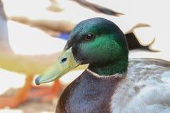 Kaczki głowa Fotografia Stock