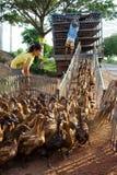 kaczki gospodarstwo rolne Zdjęcia Royalty Free