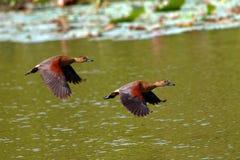 kaczki gwizdanie Obraz Royalty Free