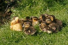 kaczki hatchling mallard Fotografia Royalty Free
