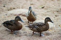 Kaczki iść na piasku Zdjęcia Stock