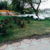 kaczki i łabędź chodzą na zielonej trawie, blisko jeziora zdjęcia royalty free