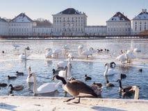 Kaczki i łabędź w Monachium Obraz Stock