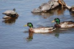 Kaczki i żółwie przy rio grande natury centrum Zdjęcie Stock