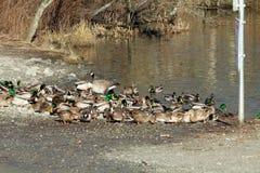 Kaczki i gąski na jeziornym brzeg Obraz Stock