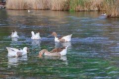Kaczki i gąski w azmak rzece Obrazy Stock