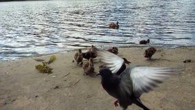 Kaczki i gołębie Zdjęcie Royalty Free