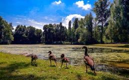 Kaczki i kaczątka w naturze z rzędu zdjęcia royalty free