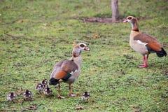Kaczki i kaczątka w parku obraz royalty free