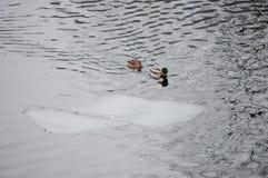 Kaczki i lodowy floe Obrazy Royalty Free