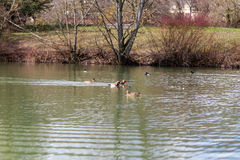 Kaczki i waterfowl pływa w stawie Zdjęcia Stock